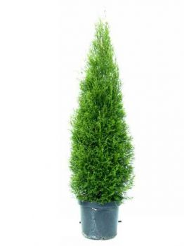 thuja occidentalis smaragd 60 80