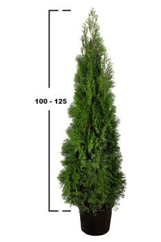 thuja occidentalis smaragd 175200 c 20